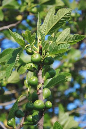 feigenbaum: Feigen, Feigenbaum mit Fr�chten, Zweig mit Fr�chten