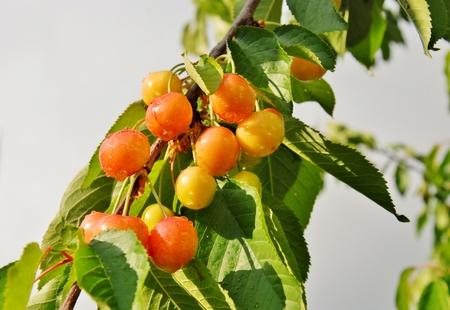 さくらんぼは、植物の枝で熟す ...