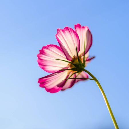 Garden cosmos blooming in summer 版權商用圖片