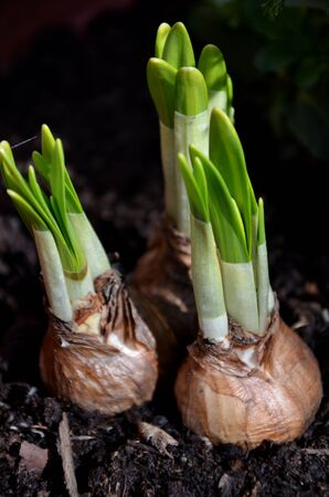 cebollas: cebollas de primavera en ciernes flores
