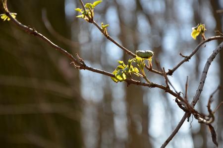 burgeoning: twig with burgeoning leaves