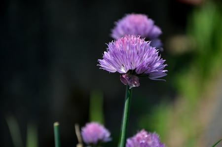 cebollin: Púrpura de flores de cebollino Foto de archivo