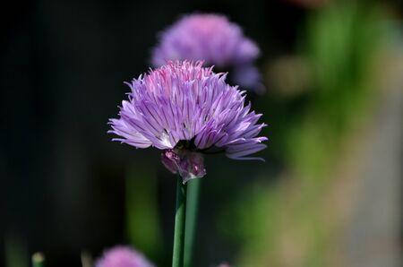 cebollines: cebollino flores púrpuras Foto de archivo