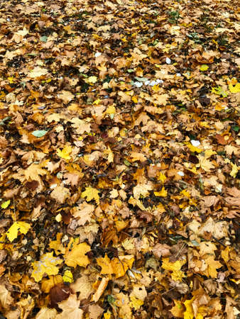 A carpet of fallen leaves in autumn forest.