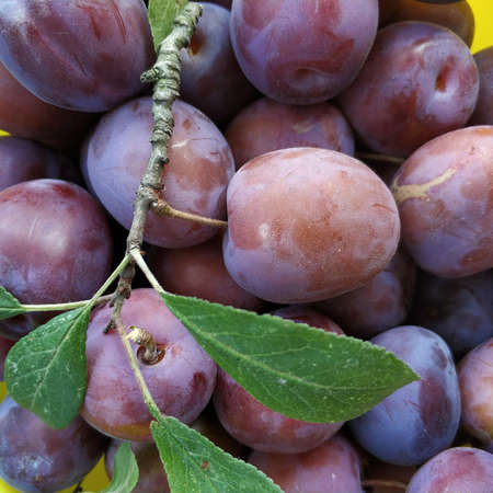 Ripe purple plums with a twig photographed close-up. Summer themes for your design.