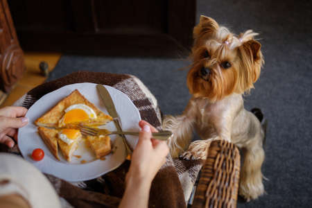 Cute yorkshire terrier beg for a breakfast meal from her owner Stock Photo