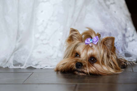 Beautiful yorkshire terrier lying on a floor looking away from camera on a white textile background