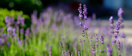 Closeup shot of colorful lavander flowers outside on a summer day.