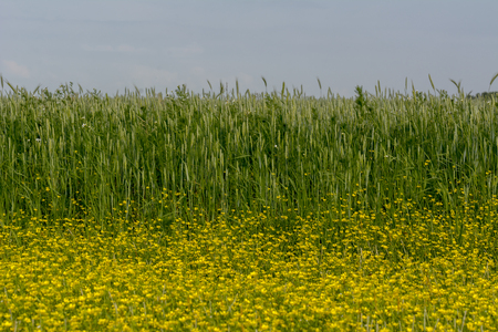 Green field with yellow spring flower on the ground