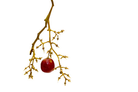 Red single round grape on white background, empty grape bunches