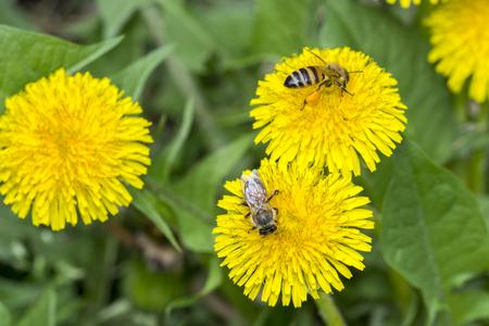 Two bee closeup on dandelion, daylight sunny weather