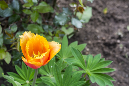 Tulip flower. Colorful tulips flower. Flowers photo concept. Stock Photo