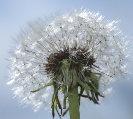 Dandelion. blue sky on background and dandelion. Dandelions full of seeds ready to fly, close up sunny day Stock Photo