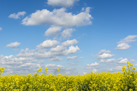 Golden flowering field of rapeseed  blue sky with clouds in sunny weather.