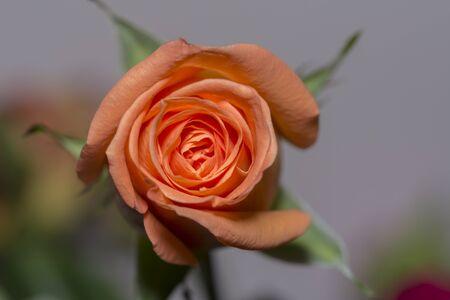 Beautiful orange roses flower in garden Rose flower background Roses flower texture Roses flower bouquet Orange rose