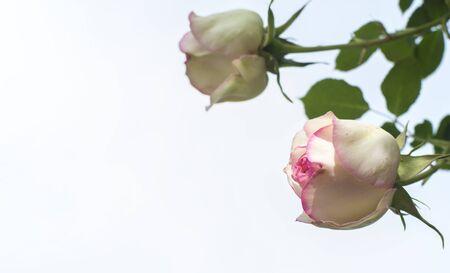 Beautiful pink roses flower in garden Rose flower background Roses flower texture Roses flower bouquet Pink rose