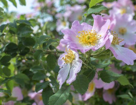 Rosehip bush with flowers. Sweet Rosehip. Rosehip flowers in blossom
