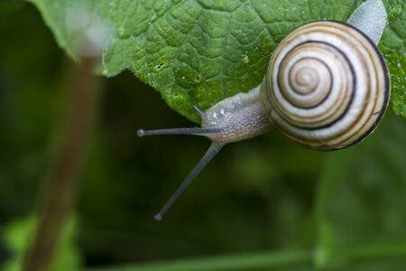White-lipped snail  Cepaea hortensis  is very slightly smaller than the grove snail Stock Photo