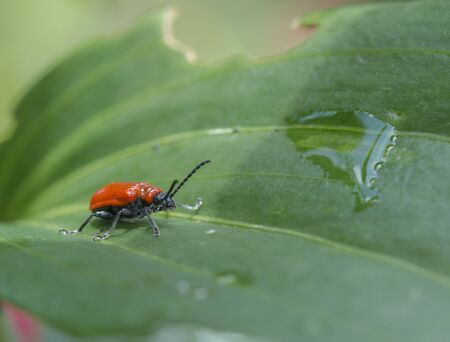 scarlet lily beetle, red lily beetle, or lily leaf beetle (Lilioceris lilii) Stock Photo