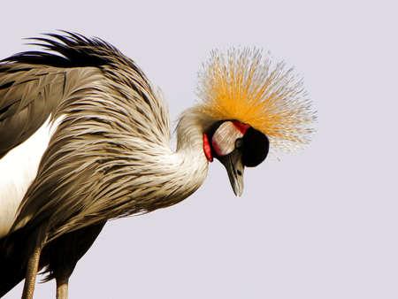 A proud bird, grey crowned crane.
