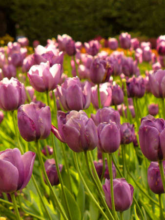 Tulip at low angle view. Stock Photo