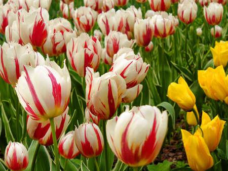 Blooming tulips in garden. Stock Photo