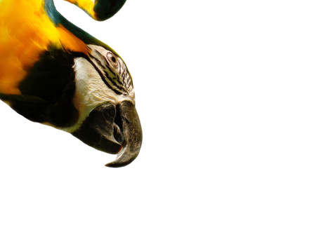 Blue & Gold Macaw on white background. Stock Photo