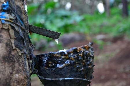 tapping: Rubber Tapping