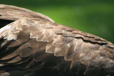 Golden eagle wing Zdjęcie Seryjne