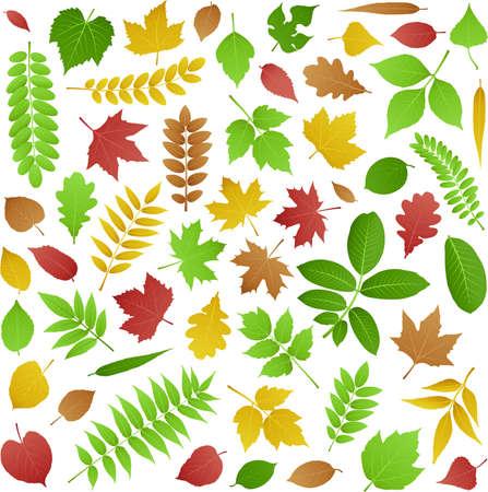 プラタナス: 緑、秋の葉のコレクション  イラスト・ベクター素材