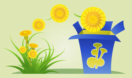 collecting: Collecting coltsfoot flowers for medical purposes Illustration