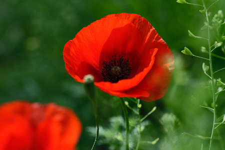 Macro photography of the bright fresh poppy within green grass.Beautiful summer flowers.Floral background.