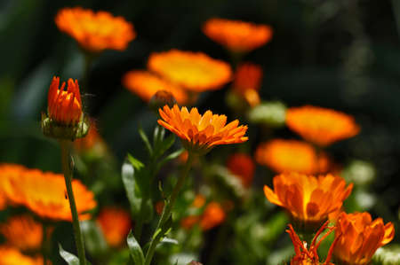 Orange spring flower close up.Beautiful floral background.Many buds on the background.Marigold flowers in the meadow. 版權商用圖片