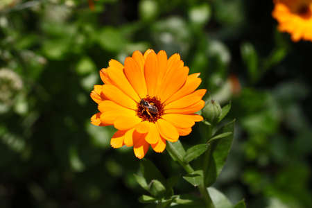 Orange marigold closeup with insct on it.Beautiful floral background.Summer flower in the meadow.Sunny bright day,colorful. 版權商用圖片