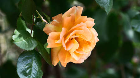 Closeup photography of beautiful rose in the garden.Horizontal floral banner.Copy space for text.