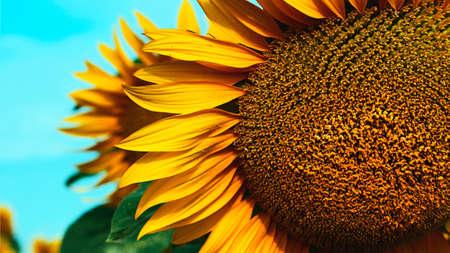 Closeup photography of sunflower,vertical banner.Natural background. 版權商用圖片 - 152361344
