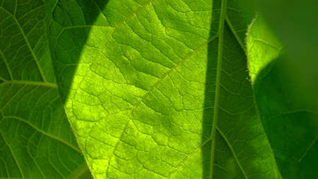 Closeup photography of green leaves with backlight.Horizontal banner.Copy space.