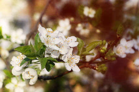 Branch with white flowers and fresh green leaves. Spring fresh, fragrant flower. Delicate blossom of beautiful cherry tree. Delicat sunshine on the background. 版權商用圖片