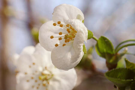 Cherry blossom flowers with dew on it.Fresh spring foliage.Sun ray on the back.Macro photography, spring concept. 版權商用圖片