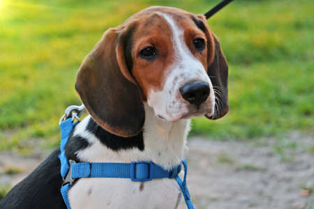 Portrait of a dog outdoor on a leash. Cute little puppy. 版權商用圖片