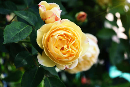 Closeup photography of beautiful rose austin in the garden.Horizontal floral banner with sun light.Copy space for text.