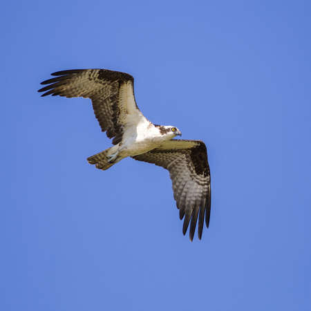 osprey: Osprey