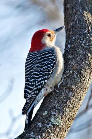 bellied: Red Bellied Woodpecker Stock Photo