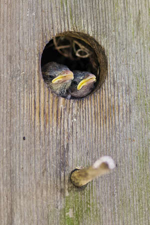 Hungry Baby Sparrows In Birdhouse