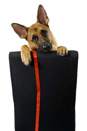 German Shepherd Puppy Isolated photo
