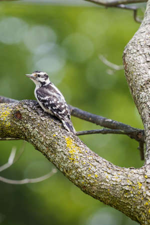downy: Downy Woodpecker