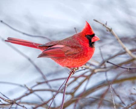 snow cardinal: Cardinal In The Snow