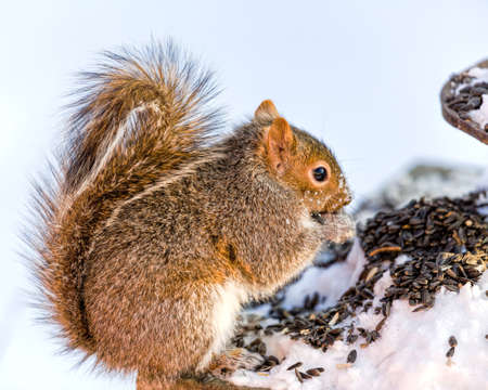 Squirrel In The Snow photo