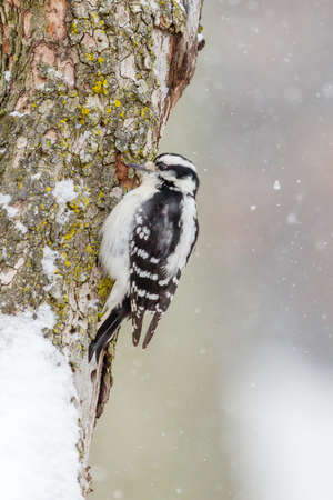 downy: Downy Woodpecker In The Snow Stock Photo