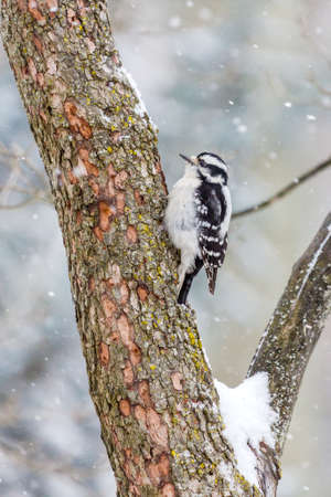 pecker: Downy Woodpecker In The Snow Stock Photo